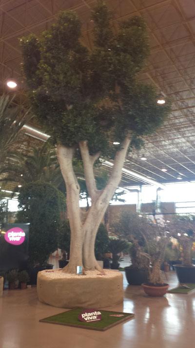 Un ficus de 9 metros ejemplar ganador del concurso planta - Viveros bermejo ...