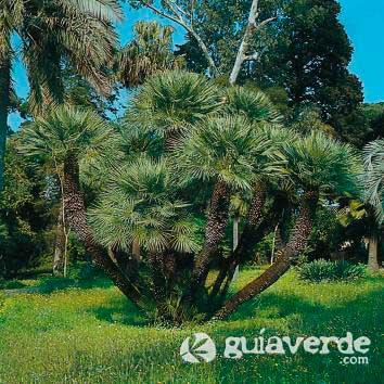 Chamaerops humilis palmeira an palmeira das vassouras - Escobas de palma ...