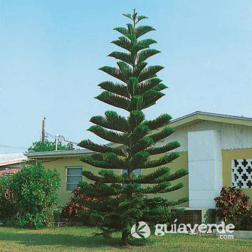 Araucaria excelsa pino de norfolk pino de pisos for Variedades de pinos para jardin