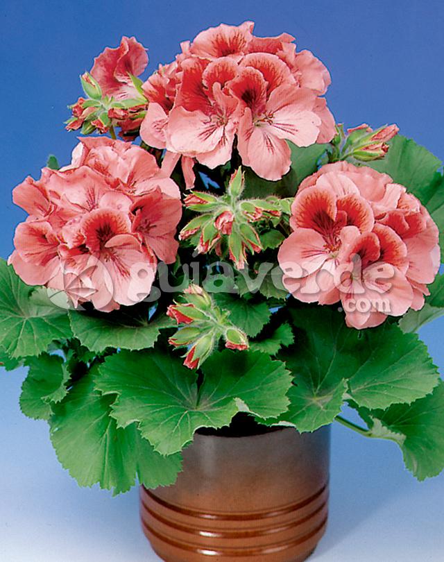 Pelargonium grandiflorum geranio de pensamiento - Geranio de pensamiento ...