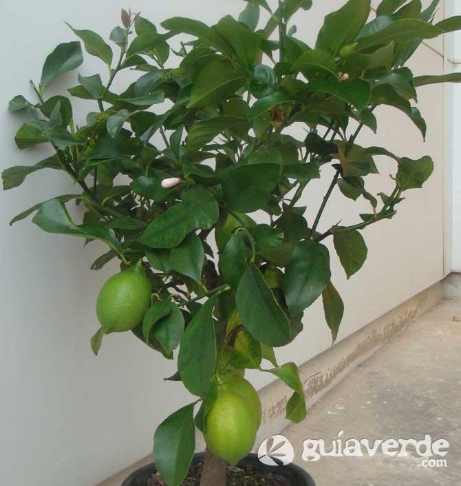 Citrus limon limn limones limonero limoneros for Limonero sin limones