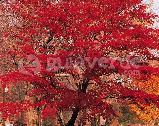 Acer palmatum arce japons arce del japn arce palmeado - Arce arbol variedades ...