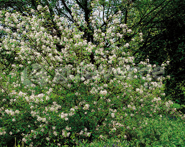 Amelanchier ovalis for Viveros fuenteamarga
