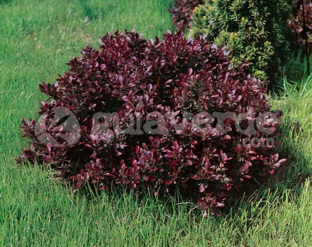 berberis thunbergii 39 atropurpurea nana 39 agracejo enano. Black Bedroom Furniture Sets. Home Design Ideas