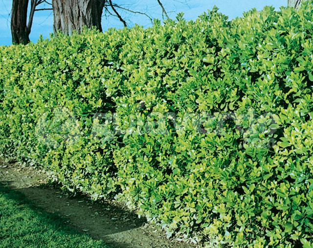 Euonymus japonicus bonetero del japn - Especies de arbustos ...