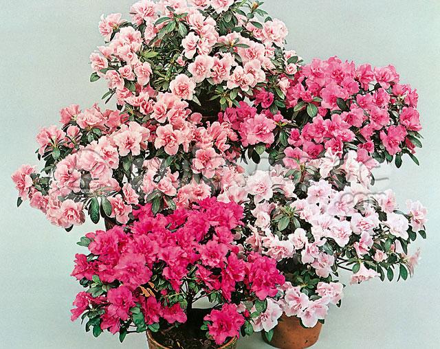 rhododendron simsii azalea de los floristas azalea. Black Bedroom Furniture Sets. Home Design Ideas