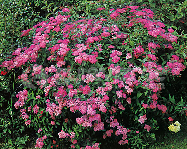 anthony waterer spirea fall color the image kid has it. Black Bedroom Furniture Sets. Home Design Ideas