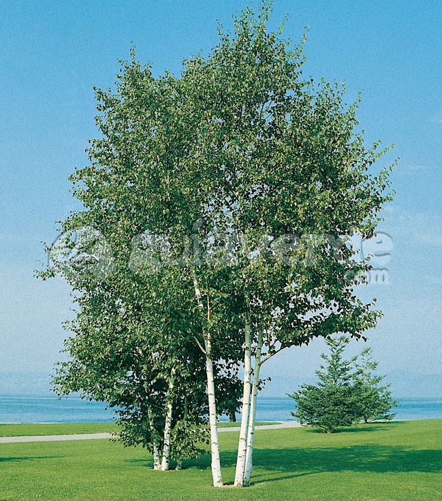betula pubescens abedul peludo abedul de los pantanos. Black Bedroom Furniture Sets. Home Design Ideas