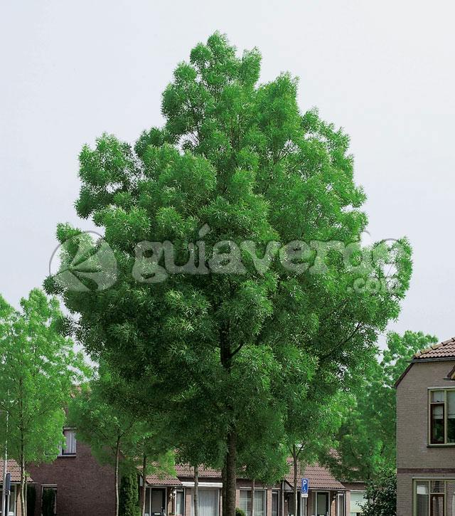 Fraxinus angustifolia fresno de hoja estrecha for Fresno caracteristicas