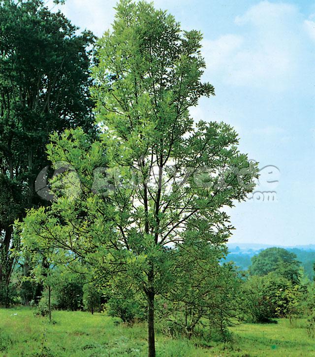 Fraxinus velutina fresno de arizona for Fresno caracteristicas