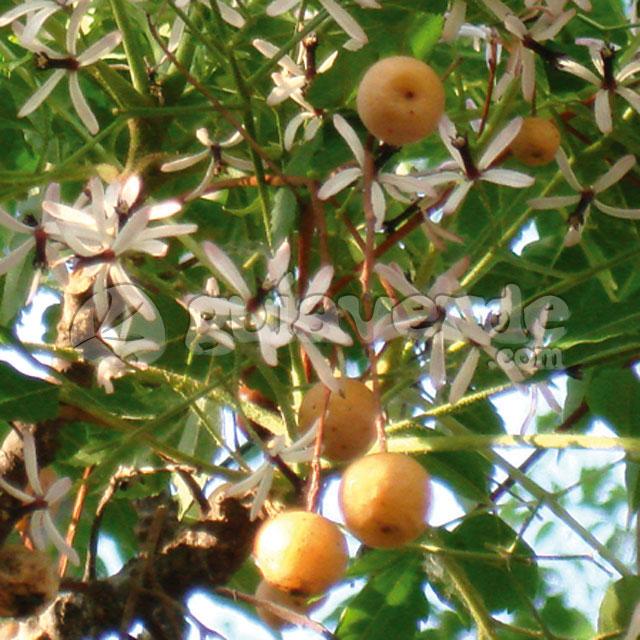 Melia azedarach cinamomo melia for Viveros sanchez
