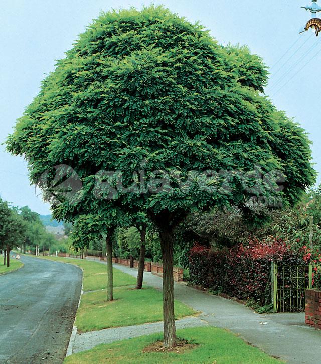 Robinia pseudoacacia 39 umbraculifera 39 acacia de bola - Arboles para jardines pequenos ...