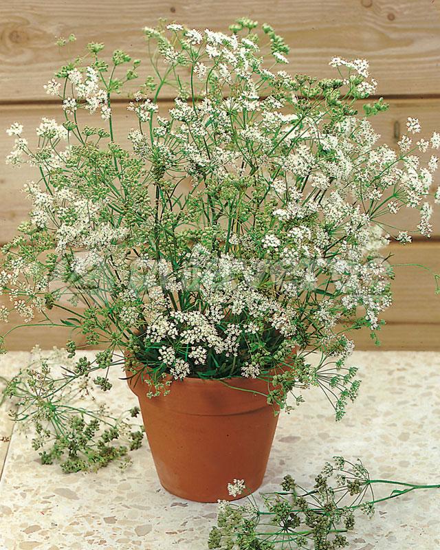 Pimpinella Anisum Seed Anís Dulce-pimpinella Anisum