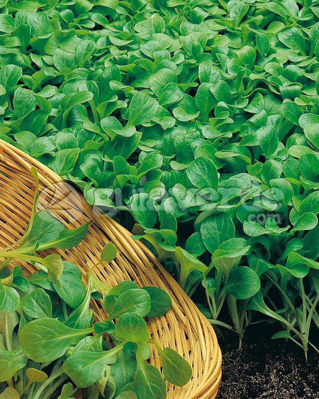 Valerianella locusta - Can�nigos
