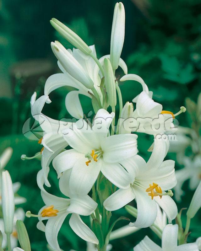 Azucena Plant