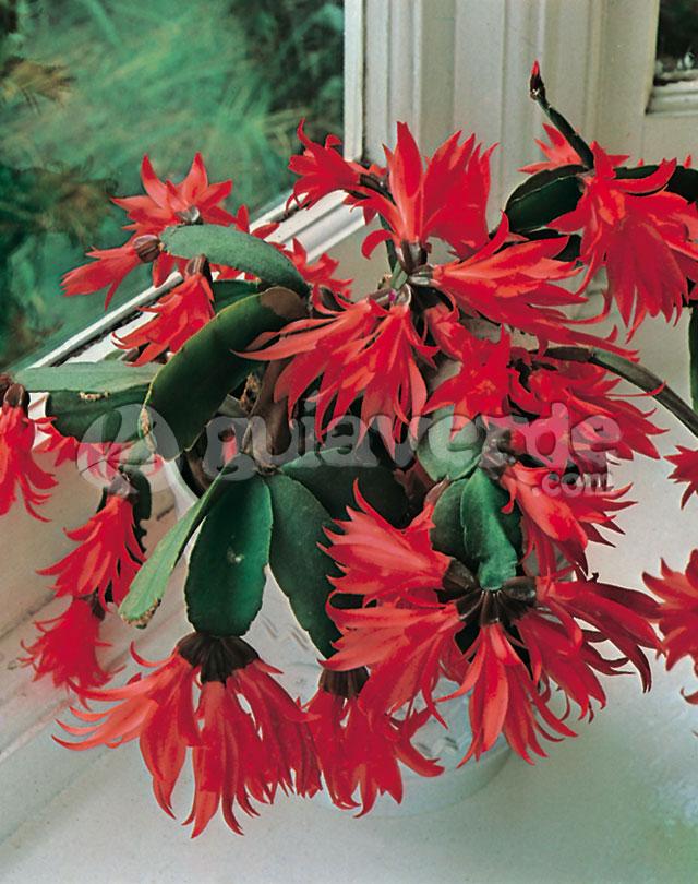 Schlumbergera buckleyi cactus de navidad for Cactus de navidad