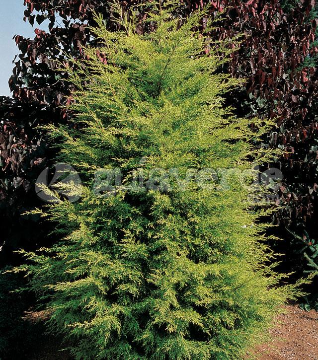 Cupressus macrocarpa 39 lambertiana 39 lambertiana cipr s for Viveros sanchez