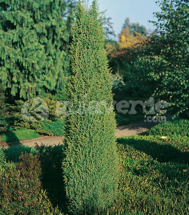 juniperus communis 39 hibernica 39 enebro de irlanda. Black Bedroom Furniture Sets. Home Design Ideas