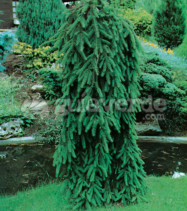 Picea Abies Inversa