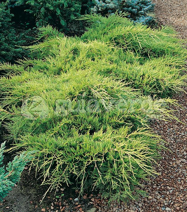 Juniperus x pfitzeriana 39 old gold 39 for Viveros sanchez