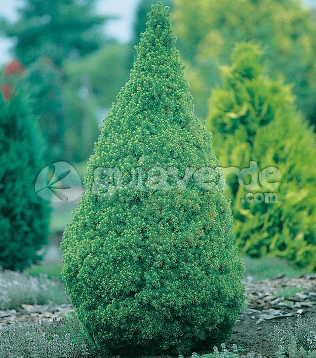 Picea glauca 39 conica 39 picea piramidal for Viveros sanchez