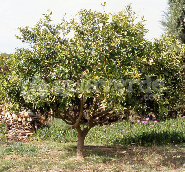 Citrus limon limn limones limonero limoneros limonero sin for Limonero sin limones