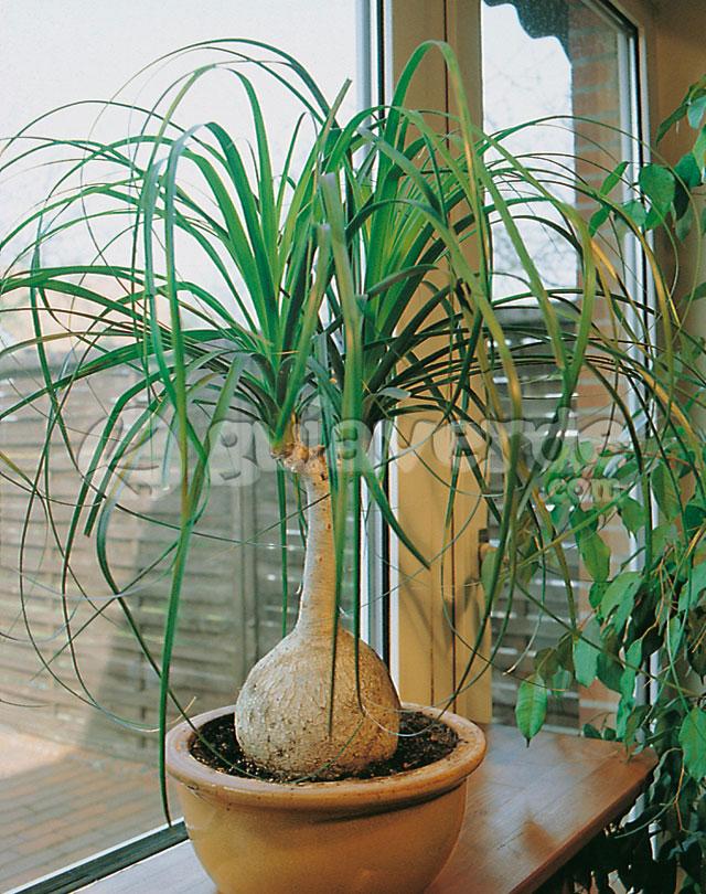Beaucarnea recurvata nolina pata de elefante for Plantas de interior precios