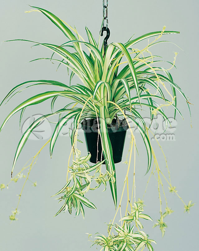 Chlorophytum comosum 39 variegatum 39 cinta malamadre lazo - Plantas de interior cintas ...