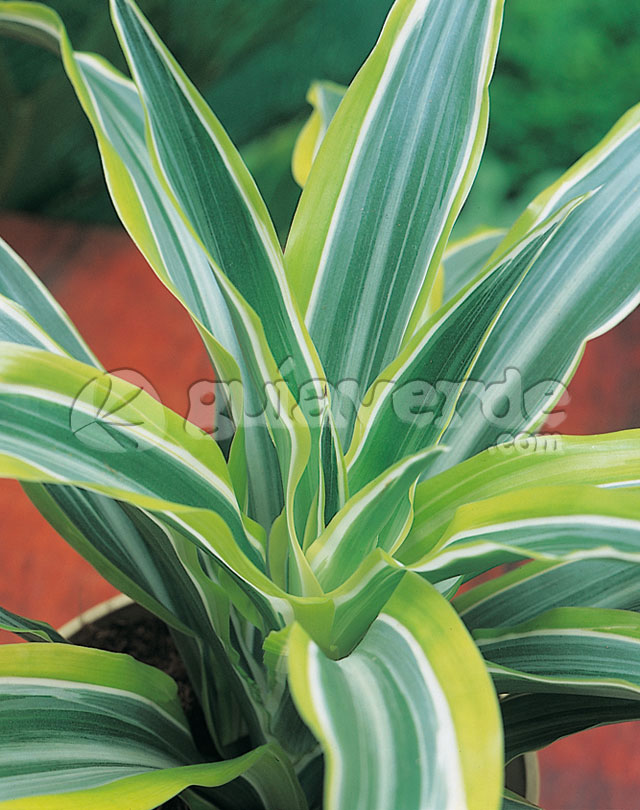 Dracaena deremensis 39 surprise 39 drcena 39 surprise 39 - Tipos de plantas de interior ...
