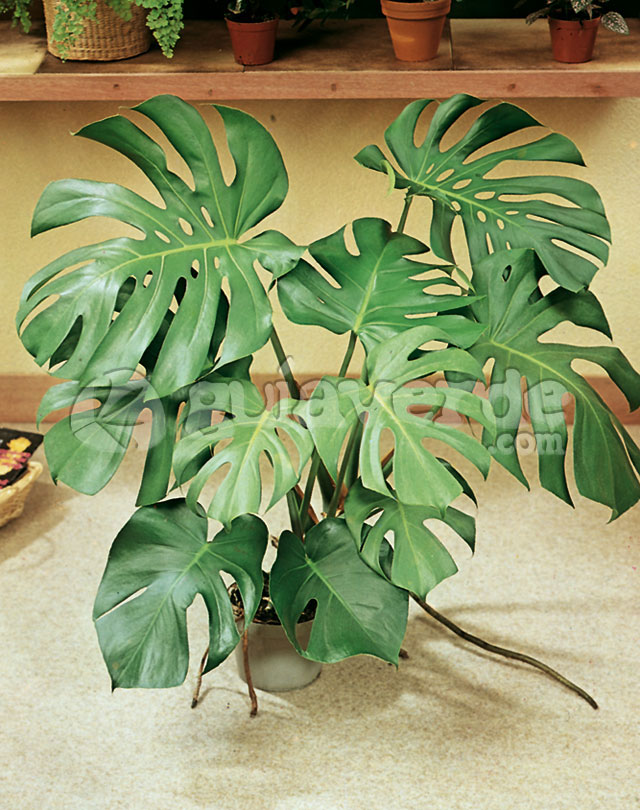 Monstera deliciosa costilla de adn filodendro planta for Planta filodendro