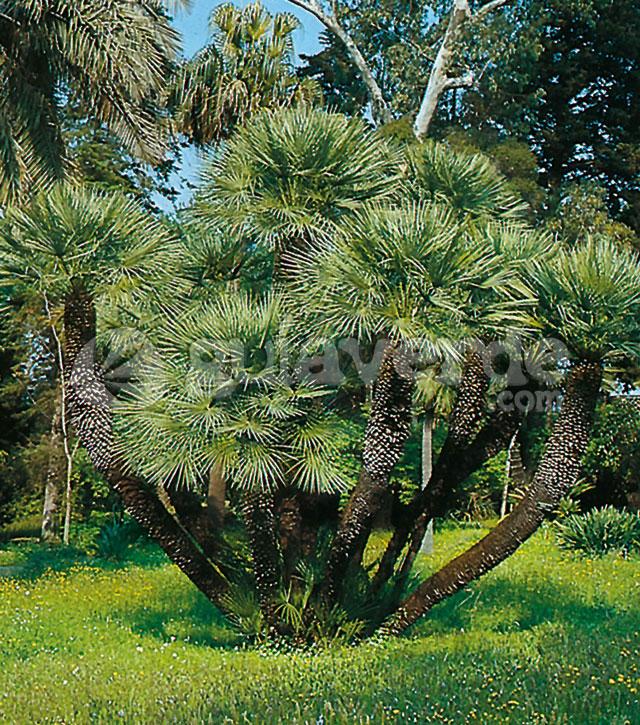 Chamaerops humilis palmito margalln margall palma - Escobas de palma ...