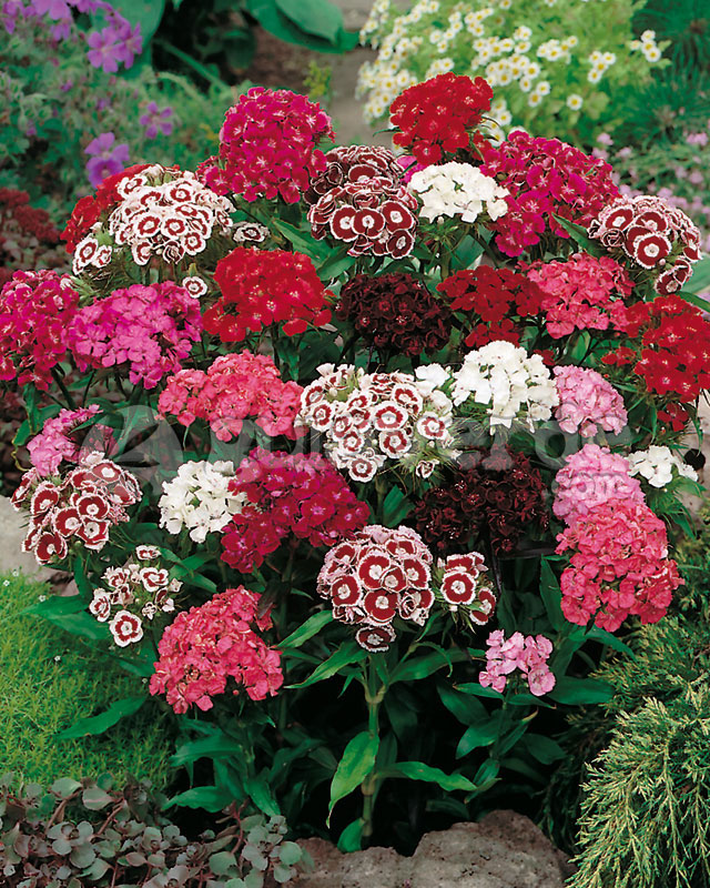 Dianthus barbatus, Perennial plant and Sweet on Pinterest