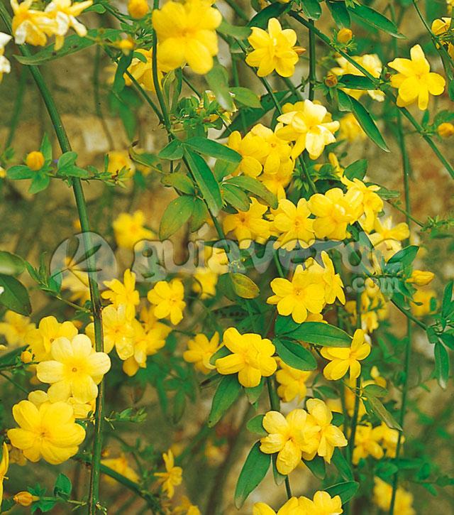 Flores pequeas amarillas y solitarias que no son fragantes