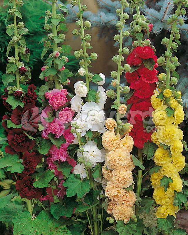 Alcea rosea malvarrosa malva de las indias caamera for Malvarrosa planta