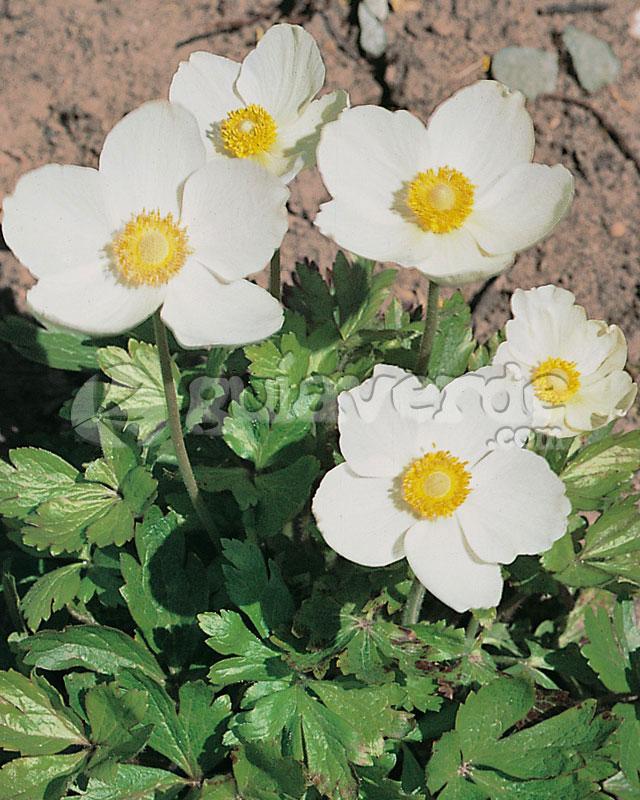 Anemone sylvestris an mona de las nieves for Planta ornamental blanca nieves