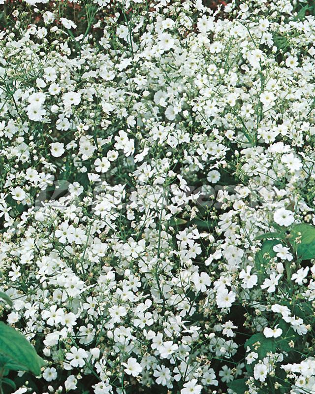 gypsophila paniculata gipsfila velo de novia