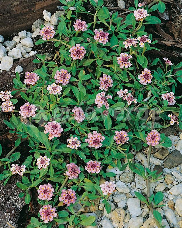 Lippia nodiflora Bella alfombra