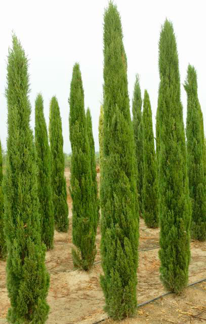 cupressus sempervirens totem viveros peitas. Black Bedroom Furniture Sets. Home Design Ideas