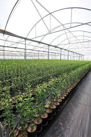 Plantones certificados de c tricos viveros alcanar for Viveros alcanar