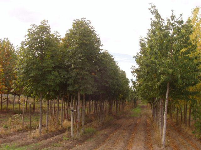 Arboles ornamentales de producci n propia centro de jardiner a viveros gimeno - Viveros gimeno ...
