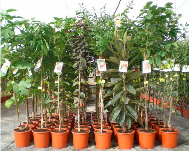 Rboles frutales en maceta c 22 viveros hernandorena for Arboles frutales en maceta