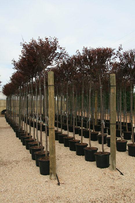 Arboles ornamentales viveros vern for Viveros ornamentales