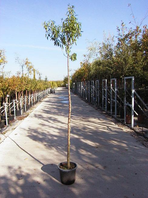Prunus amygdalus viveros s nchez for Viveros sanchez