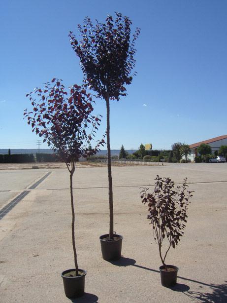 Prunus pissardii viveros s nchez for Viveros sanchez
