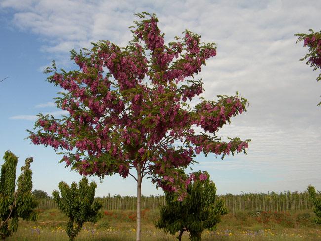 Robinia pseudoacacia casque rouge viveros s nchez for Viveros sanchez