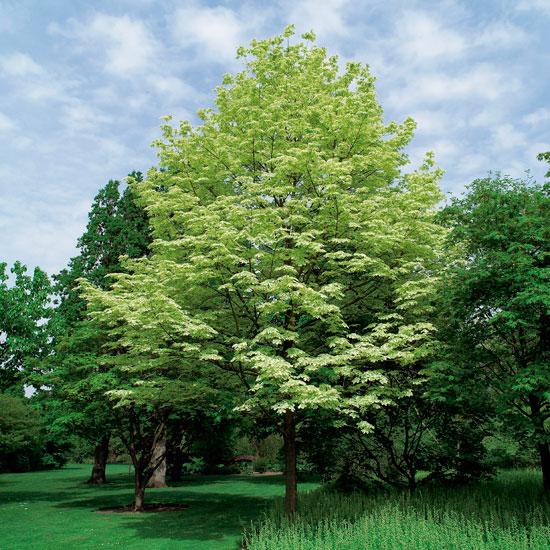 arbol ornamentales de sombra viveros taboada