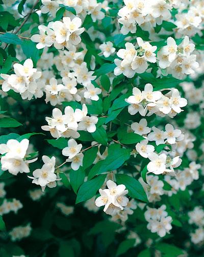 Arbusto de jardin viveros taboada for Arbusto de jardin