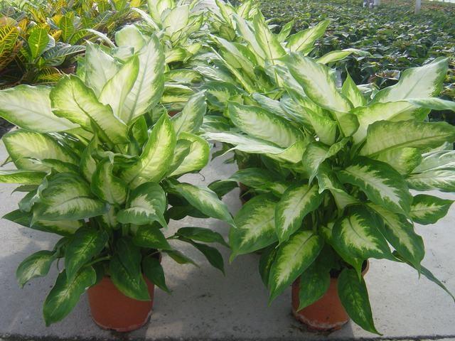Planta de interior viveros bermejo for Plantas de interior madrid