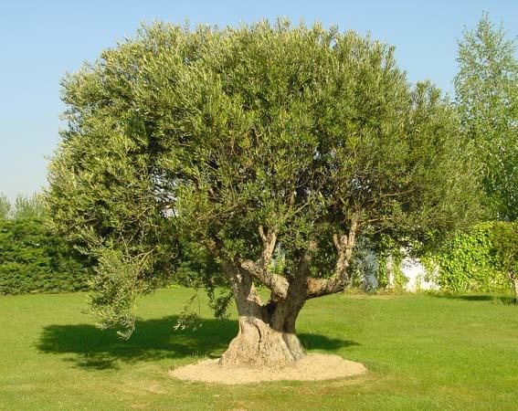 Olivos viveros enrique bravo s l for Arboles de hoja perenne para jardin