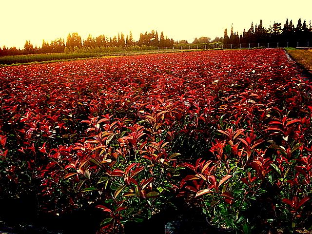 Photinia fraseri red robin viveros ornamentales tanako for Viveros ornamentales